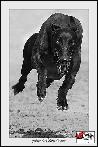Greyhound von Harry Protzmann, NL