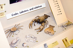 CD826 Critter Guide (listentoreason) Tags: usa chicago nature animal museum hermitcrab america canon illinois unitedstates favorites crab places naturalhistory fieldmuseum lobster crustacean animalia crustacea arthropoda invertebrate arthropod stomatopod mantisshrimp decapod decapoda fieldmuseumofnaturalhistory ef28135mmf3556isusm score25 brachyura malacostraca nephropidae homaridae stomatopoda anomura pleocyemata astacidea paguroidea animalidentification hoplocarida