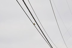 holding on the line (christiaan_25) Tags: sky bird lines clouds cloudy goldfinch august wires sit perch crisscross hold mortonarboretum