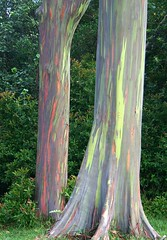 Painted Bark Eucalyptus (J K Johnson) Tags: trip travel trees vacation usa color tree colors beautiful america hawaii us amazing interesting rainbow colorful paradise unitedstates unique exploring unitedstatesofamerica maui explore american bark hawaiian tropical trunk jimjohnson jkjohnson