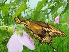 Giant Swallowtail Butterfly (Image Hunter 1) Tags: macro nature butterfly louisiana bayou swamp giantswallowtail