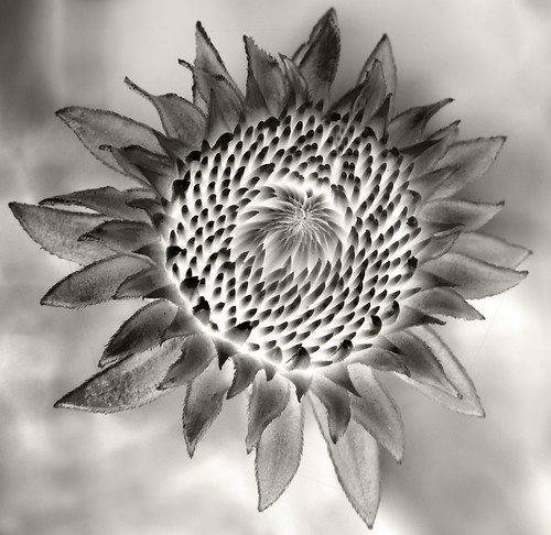 Becoming Echinacea 3