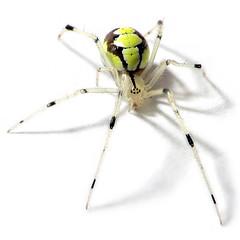 Arachtober is Here!! (zxgirl) Tags: bug spider spiders arachnid flash bugs onwhite mybackyard arachnida s5 araneae theridiidae cobwebspider img0373 cobwebspiders araneomorphae theridion entelegynes arachtober beautifulmonsters entelegyne theridionfrondeum arachtober09 femalepalps