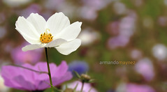 Happy sunday! (Armando Maynez) Tags: voyage travel vacation flower macro dof bokeh flor lavender shallow traveling nikkor armando vacaciones nikkon ruleofthirds d90 18200vr maynez