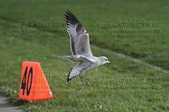 DPV091011126-Football Stallions Bantam AAA-St-Lazare (stallionsfootball) Tags: football stallions bantamaaa