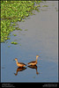 Large Whistling Teal | Dendrocygna bicolor (Neelakandan | www.neelakandan.com) Tags: india lake reflection green bird water forest duck teal ripple wildlife birding kerala jungle dendrocygnabicolor mangalavanam neelakandan largewhistlingteal discoverplanet