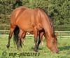 Rowdys Sugar Lena (GreenMeadowsRanch) Tags: horse quarter pferd fohlen