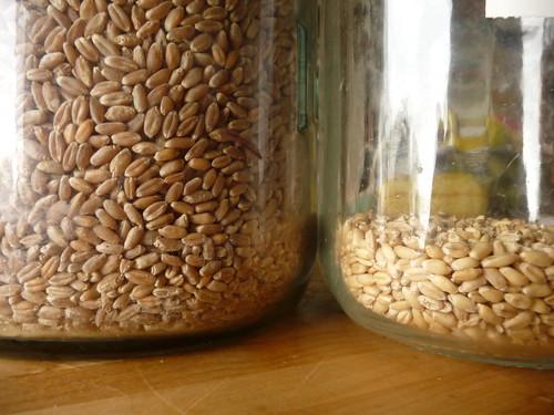 wheat v wheat