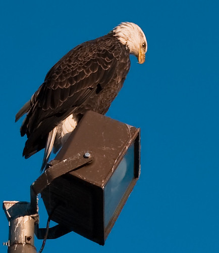 Magical creature.  Mr. Eagle looks for dinner at lake Harriet.