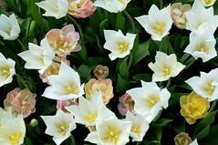 Tulpen-Mischung SPA_3520 (Chironius) Tags: flowers flower fleur blossom flor blossoms fiore blte tulipa tulpen liliaceae weis  liliales  liliengewchse lilienartige lilioideae naturagartibbenbren