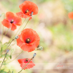 Gracefulness in the wind 2 (dhmig) Tags: red italy sun nature 50mm nikon bokeh outdoor meadow piemonte poppy poppies piedmont novara gracefulness poppiesfield nikond7000 dhmig dhmigphotography
