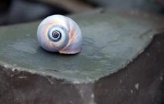 Spiral (Jean Knowles) Tags: wet rock newfoundland pastel empty shell snail rainy worn arr weathered geotag greenpoint allrightsreserved grosmornenationalpark bej newfoundlandandlabrador anawesomeshot nottobeusedwithoutmypermission ©2011jeanknowles