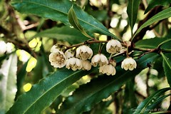 Queensland Laurel