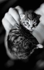 little cats (Lobe occipital) Tags: blackandwhite cats black cute beautiful animals chats little sweet adorable kittens animaux petits mignon chatons