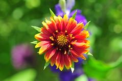 Wild Flower - Lygus feeding (jwinfred) Tags: plants macro nature mississippi nikon insects delta cypress 90mm preserve greenville d300 lygus tamrom lineolaris