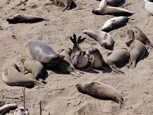 Friend or Foe? Among seals