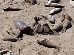Friend or Foe? Among seals (jver64) Tags: california usa seals piedrasblancas pacificcoasthighway sealsseals sealssealsseals sealssealssealsseals