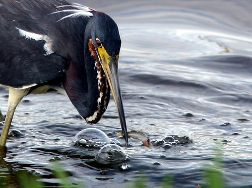 Tricolored Heron 2-20090522
