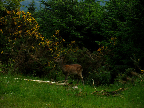 A deer in Lackandarragh
