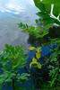 Für die Liebhaber der Lilie ... (PauPePro) Tags: flowers plants flower color nature flora wasser natur blumen natura fiori colori lilie natures flori rheinbrücke wasserspiegelung maxau sumpfschwertlilie sognidreams flov hofgutmaxau