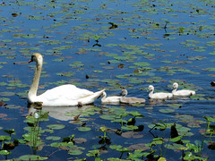 Mute Swan and Cygnets (Photos by the Swamper) Tags: birds swans cygnets kensingtonmetropark