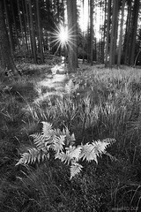 + fern_friday (david.richter) Tags: wood bw sun sunlight white black fern nature grass forest canon landscape photography eos rebel moss raw outdoor sunburst nik friday xsi superwideangle onblack sunstar rainraingoaway singleexposure ishootraw nohdr blackwhitephotos nonhdr 450d viewonblack rebelxsi silverefexpro tokina1116mmf28atx116prodx fairytaledreams