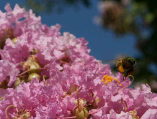 Bees in the Crepe Myrtle Tree