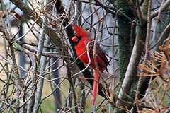Northern  Cardinal (kbcollins) Tags: cardinal northern