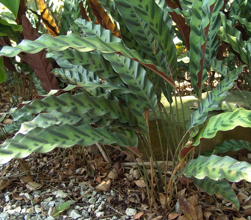 singaporebotanicalgarden taxonomy:common=prayerplant taxonomy:binomial=calathealancifolia