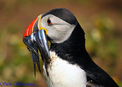 PUFFIN WITH SANDEELS # 23 (spw6156) Tags: copyright island with steve puffin waterhouse on sandeels avianexcellence eiap skoma spw6156 stevewaterhouse copyrightstevewaterhouse