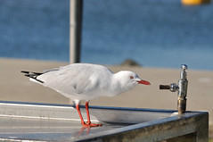 I want fresh water! (duckspeaks) Tags: bird nature fauna nikon seagull gull waterbird mf freshwater 180mm d90 manualfocusing bestofaustralia