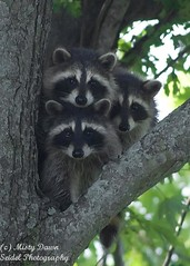 Three Amigos (Misty DawnS) Tags: hello white black tree cute green nature leaves animals three babies treasure wildlife gray young adorable masks missouri raccoon raccoons owp fantasticwildlife favoritenw10 photocontesttnc11