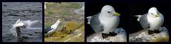 Story of every weekend (FOlmeda) Tags: bird scotland fdsflickrtoys nikon comic escocia story ave gaviota historia seabird isleofmay