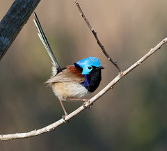 VARIEGATED FAIRY-WREN (petefeats) Tags: nature birds australia queensland variegatedfairywren eaglebywetlands
