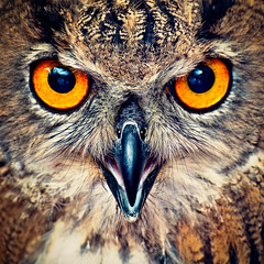 Eagle Owl Eyes (Allard Schager) Tags: portrait holland macro bird nature netherlands animal closeup 1 eyes nikon wildlife nederland evil explore raptor owl portfolio