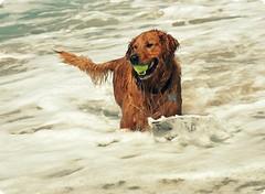 Beach Bum (sprinkle happiness) Tags: dog beach goldenretriever bum fetch 50mmf18 chuppy abigfave idoubtthereforeimightbe