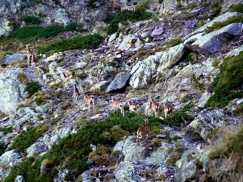 Vire du Tafonatu au petit matin : harde de femelles et petits mouflons