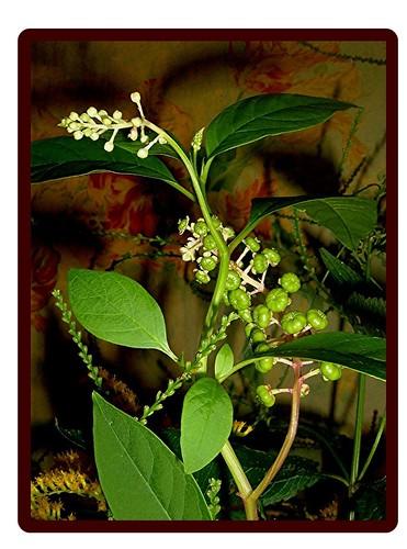Phytolacca, americana