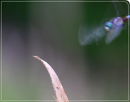 dragonfly_cominginforlanding01