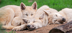 Pile o'wolves (Tambako the Jaguar) Tags: sleeping white france cute zoo pups nikon wolf babies canine arctic lupus d300 amnville