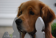 sad to see you go (suesue2) Tags: dog goldenretriever eyes sad michigan mug mackinacisland suesue2 amazingmich suefraserphotography