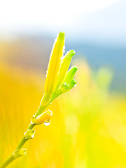 Orange Daylily (a.k.a. Golden Needles) (olvwu | ) Tags: morning mountain flower field farm taiwan dew daylily droplet bud hualien picking hemerocallis jhutian liliaceae fuli jungpangwu oliverwu oliverjpwu orangedaylily olvwu goldenneedle hualiencounty sixtystonemountain jungpang hemerocallisfulvalinn fulitownship fulvousdaylily jhutianvillage
