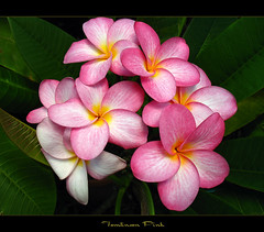 The Plumeria Tomlinson Pink (mad plumerian) Tags: flowers canon hawaii florida plumeria exotic hawaiian frangipani rare tropicals tropicalflowers a620 hybrids rareplant landscapephotography rareplants exoticflowers flowersinbloom rareflowers rareplantsflowers hybridflowers