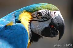 DSC_2284 - Ara Ararauna (pietroz) Tags: parco photo nikon foto photos parrot le bergamo pappagallo d40 cornelle bej abigfave faunistico valbrembo pietroz pietrozoccola
