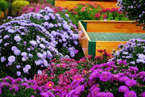 Sun High flowers-1