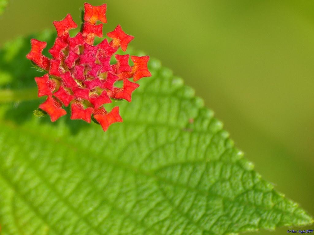 Lantana Flower and leaf.. Flora & Fauna from Kass Plateau..4