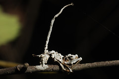 double fungus ant