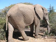 Da elephant