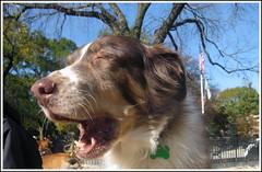 happy furry friday! (joujoubee) Tags: dog happy furry opera syndrome furryfriday friday dogrun spontaneous kasha