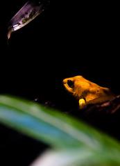 A quiet frog and a crying leaf (lybero) Tags: wet yellow drop frog amarillo sapo rana londonzoo humid humedo yellowfrog ranaamarilla
